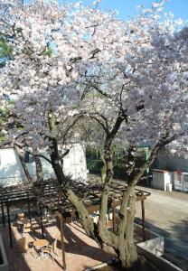 画像:テラスいちょうの裏の桜