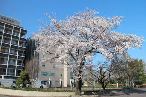 画像:獣医学部棟の桜