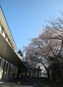 画像:テラスいちょうの桜