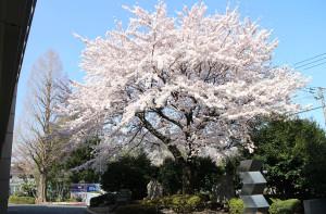 画像:高校の桜
