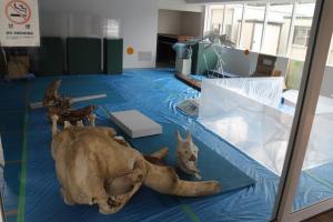 いのちの博物館のオープン間近:ゾウの頭蓋骨やイルカの骨格