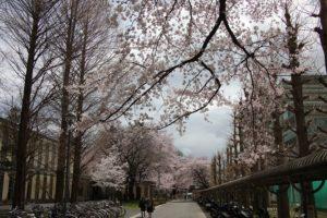 画像:学園の桜