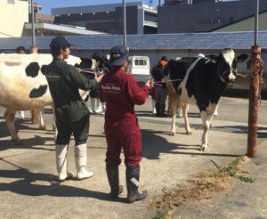 画像:麻布大学実習 牛の写真